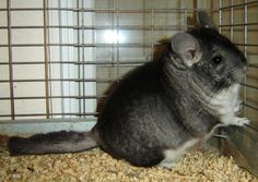 Chinchilla - Black University Of California Davis, Chinchillas, All Gods Creatures, Take Care Of Me, Rodents, Otters, Rabbits, Mammals, Fun Facts