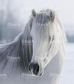 White Welsh pony royalty-free stock photo
