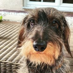 ❤️ Herr Leopold Daschund, Dachshund Puppies, Dachshund Love, Pet Dogs, Dogs And Puppies, Dog Cat, Wire Haired Dachshund, Raining Cats And Dogs, Fox Terrier