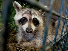 Wrong Culprit by *BloodLust-Carman on deviantART Raccoons, Fox, Deviantart, Cats, Animals, Gatos, Animales, Animaux, Animais