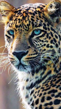schöner Kopf eines Leoparden Sponsored Sponsored beautiful head of a leopard Jungle Animals, Nature Animals, Animals And Pets, Cute Animals, Tier Wallpaper, Animal Wallpaper, Cat Wallpaper, Iphone Wallpaper, Mobile Wallpaper