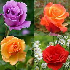 Hasil gambar untuk bunga mawar tercantik