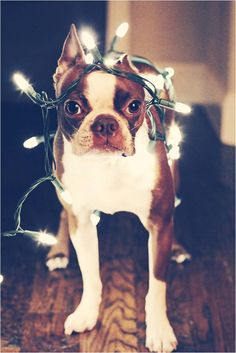 Cannot get enough of these dog in Christmas lights photos! | Riches for Rags