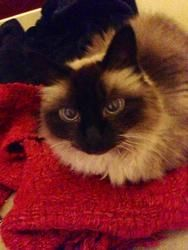 Georgie is an #adoptable Balinese Cat in #Seattle, #WASHINGTON. Georgie is a sweet girl looking for her forever home. She is a people oriented cat, and loves to be where you are. She is not a huge fan of other k...