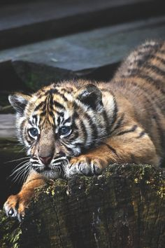 adorable little tiger is focused on something