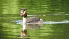 Sieniawka #64   Great crested grebe   Perkoz dwuczuby Free Mind, Wild Flowers, Wordpress, Bird, Photography, Fotografia, Photograph, Wildflowers, Birds