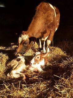 FYI-Dairy Bull Calves Aren't Always Veal.