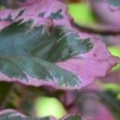 Tri-color Beech tree