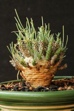 Euphorbia namibensis