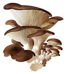 Reishi, Shiitake and Maitake Mushroom's Healing Powers Mushroom Drawing, Mushroom Art, Mushroom Fungi, Maitake Mushroom, Botanical Illustration, Botanical Art, Mushroom Species, Home Garden Plants, Stuffed Mushrooms