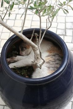 cat who have found the perfect place to relax: in a tree pot.