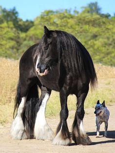 Ember is a dreamy registered Gypsy Vanner gelding with enough mane, tail, and feathers to fill all of your dreams for years to come! He is fabulously beautiful and a kind, gentle soul. Fancy Tops, Horses For Sale, Feathers, Dreaming Of You, Gypsy, Fill, Dreams, Photo And Video, Animals