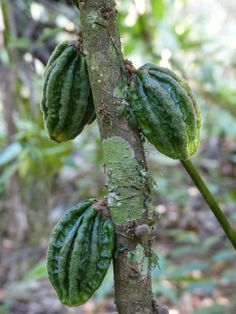 http://faaxaal.forumgratuit.ca/t3475-photo-de-sterculiacee-cacaoyer-cacaotier-theobroma-cacao-cacao-tree-cocoa-tree