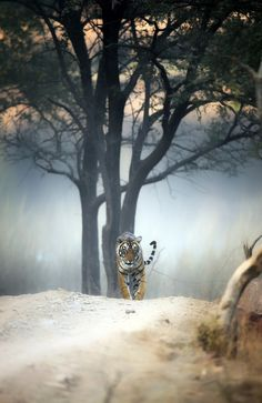 _DSC0949.jpg - Evening stroll. A sub adult tigress on her evening stroll at Ranthambhore Tiger Reaserve, India. Made this image in haze, fog, mist.