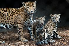 The Houston Zoo's four-month-old Jaguar cubs recently made their public debut. Fitz and his sister, Emma, were born to first-time parents Maya and Tesoro on July The cubs have been behind-the-scenes with mom the past few months. Reptiles, Tiger Species, Big Cat Family, Mom Family, Houston Zoo, New Jaguar, Clouded Leopard, Dog Insurance, Argentine