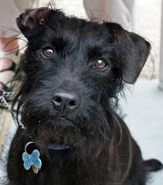 Patterdale Terrier -  All dogs go to heaven....Even Tucker! Sure looks like him.