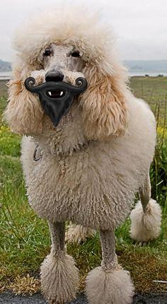 humunga- stache and beard dog toy