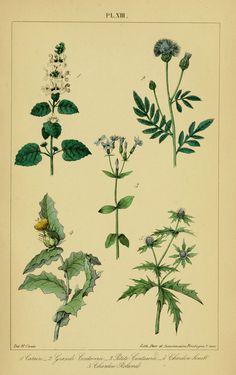 https://flic.kr/p/aQQf4p | n1248_w1150 | Traité pratique et raisonné des plantes médicinales indigènes. 1868. Paris,P. Asselin,1868. biodiversitylibrary.org/page/11430255