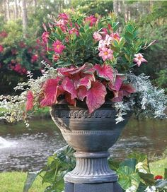 a  lovely grouping of plants in large container. If you've never bought Caladium, the broadleaf pink and green plant, you should. It's absolutely beautiful in a planter on the porch, shade lover only!