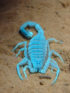 Fluorescence by Furryscaly on Flickr.  This is Alexial, my deathstalker scorpion, Leiurus quinquestriatus, when she was a young adult. This is what it looks like when you combine a blacklight with the normal light in the room. All scorpions glow under blacklights.