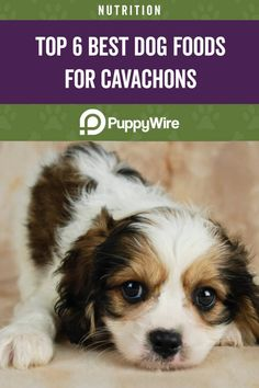 Want the best dog food for your Cavachon? Read our guide and see our top 6 picks for your Cavachon adult, puppy, senior and more. Healthy Brain, Healthy Oils, Best Dog Food, Best Dogs, Hills Science Diet, Cavachon, Dog Diet, Dog Food Recipes, Your Dog