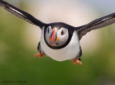 Atlantic puffin flying at Machias Seal Island, Maine by Tin Man