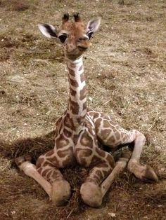 pictures of aprils' baby giraffe – – Yahoo Image Search Results – Vivien Mary Marshall - Baby Animals Baby Animals Pictures, Cute Animal Pictures, Animals And Pets, Jungle Animals, Print Pictures, Wild Animals, Baby Pictures, Giraffe Art, Cute Giraffe
