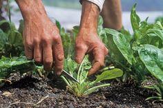 harvesting vegetables for flavor