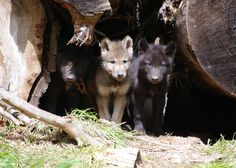 Q&A with Defenders Of Wildlife Wolf Conservation Expert Suzanne Stone on the U. Fish & Wildlife Service ending endangered species protection for wolves. Wolf Population, Baby Animals, Cute Animals, Wild Animals, Beautiful Wolves, Beautiful Dogs, Big Bad Wolf, Endangered Species, Beautiful Creatures