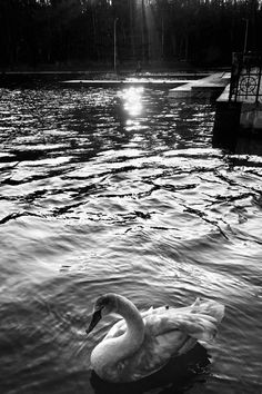 #monochrome #blackwhite #lake #bird #swan Olga Sher