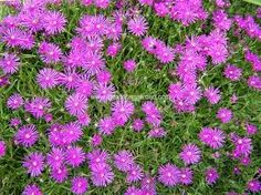 ice plant: hot pink blooms all summer, drought tolerant