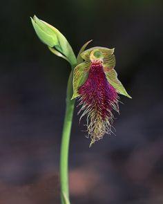 Purple-Beard-Orchid: Calochilus robertsonii - Flickr - Photo Sharing!