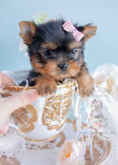 Ideas dogs and puppies for sale teacups for 2019 Teacup Puppies For Sale, Cute Puppies, Cute Dogs, Dogs And Puppies, Super Cute Animals, Cute Baby Animals, Cutest Puppy Ever, Yorkshire Terrier Puppies, Yorkie Puppy