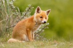 The New Kit ...curious Red Fox Cub Photograph Print by  Roeselien Raimond