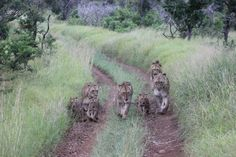 Check out the latest photos from Thanda. www.africanimpact.com