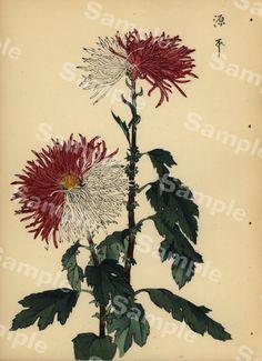 Lovely KORIN ukiyo-e Japanese woodblock original antique print of Chrysanthemum Meiji Period Antique Prints, Chrysanthemum, Rarity, Period, This Book, Delicate, Japanese, The Originals, Antiques