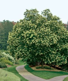 Fast-growing trees for impatient gardeners | It doesn't take a lifetime for these strong trees to reach their full potential