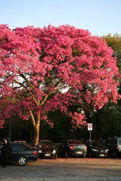 """""""Ipê roxo (Tabebuia avellanedae)    Da mesma família do ipê amarelo, o ipê roxo tem características parecidas, mas pode alcançar até 35 metros de altura. Muito usado na arborização urbana.7 árvores para plantar em um ambiente urbano"""""""