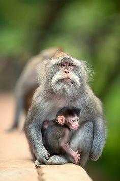 The monkey by Jalu Pamuncar - Cutest Paw Primates, Mammals, Nature Animals, Animals And Pets, Strange Animals, Beautiful Creatures, Animals Beautiful, Baboon, Mundo Animal