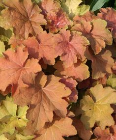 """Heuchera 'Caramel'. H-12"""", Spread-12 to 15"""", zones 4-9, Deer resistant, can grow around Black Walnut trees. Tolerates sun or shade as most Heuchera (coral Bells) do.  Caramel will have more vivid color in sun though."""