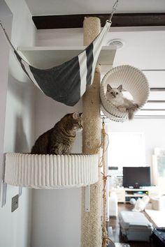 NOWY DRAPAK » Dzika Bestia | Mała Domowa Hodowla Kotów Syberyjskich Neva Masquerade