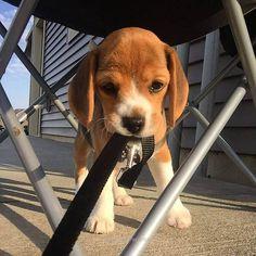 Adorable baby beagle