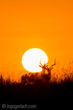 Impala at sunrise. | Masai Mara. | Kenya. | more here: http://www.ingogerlach.com/impala-at-sunrise
