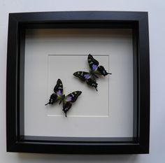dried butterflies & interior