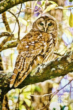Barred Owl In Fall Poster By John K Giarratano