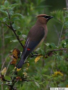 Cedar Waxwing — Birds of North America Online
