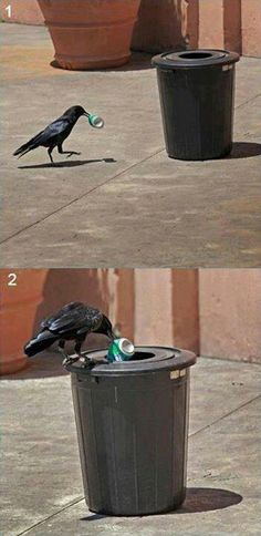 OMG!! It's an Environmentally Friendly Corvidae putting a Can in the Trash....How COOL is That??? Too bad it's not a Recycle Bin.....next time, right??  ;-)