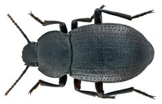 Family: Tenebrionidae Size: 13,7 mm Location: Syria, Homs West, Krak de Chevaliers leg. J.Scheuern, 11.III.1977; det. Schawaller Photo: U.Schmidt, 2014