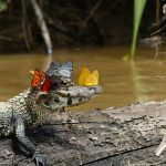 "A Caiman Wearing a Crown of Butterflies Photographed by Mark Cowan. Caiman's looking at you like, ""Yeah, I'm the best there ever was."""