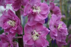 Delphiniums by Begonia & Delphinium Specialist Flower Shop Blackmore & Langdons July Birthday, New Opportunities, Begonia, Outdoor Gardens, Strawberry, Delphiniums, Rose, Flowers, Plants